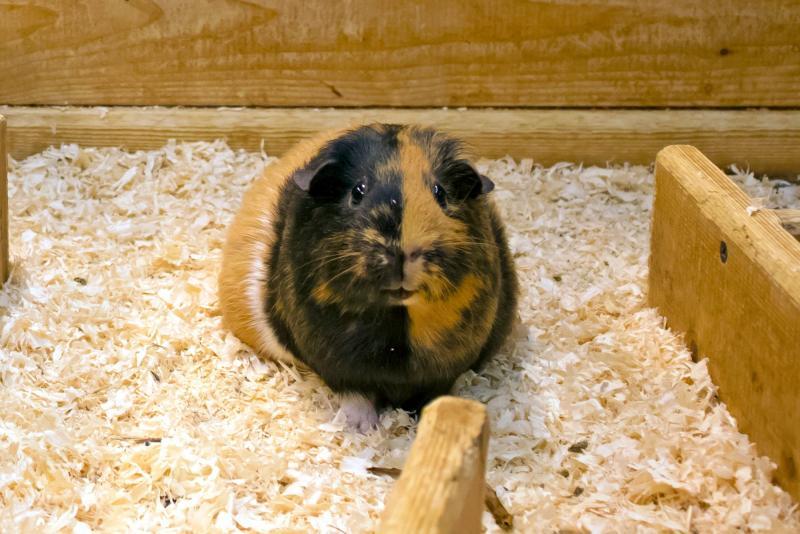 Comfy And Safe Guinea Pig Bedding Ideas, Can I Use Hay For Guinea Pig Bedding