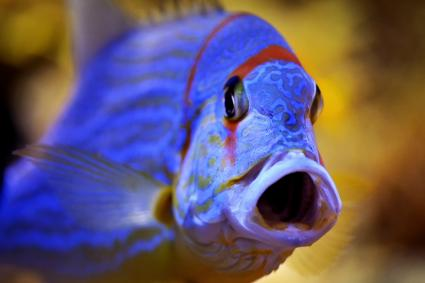 Blue fish with open mouth
