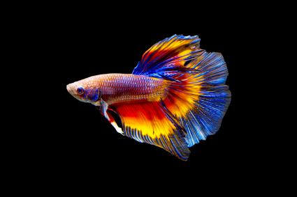 Colorful Betta fish swimming
