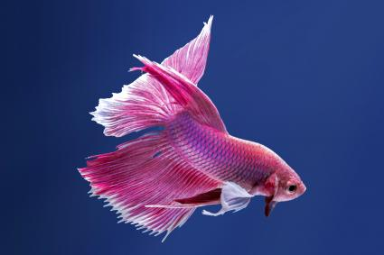 100 Betta Fish Names for All Types | LoveToKnow