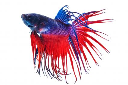 Dragon Betta Fish