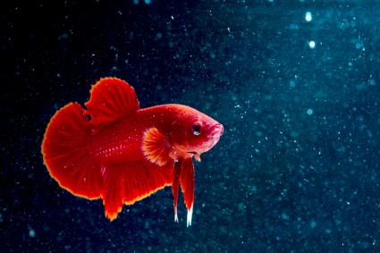 Betta fish super red