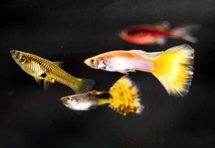 Guppys in freshwater aquarium