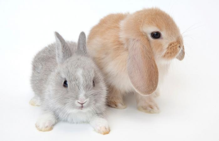 Netherland Dwarf and Holland Lop rabbits