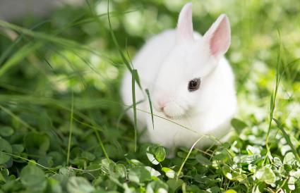 Dwarf Hotot white eyeliner rabbit in grass
