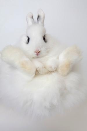 Jersey Wooly white rabbit