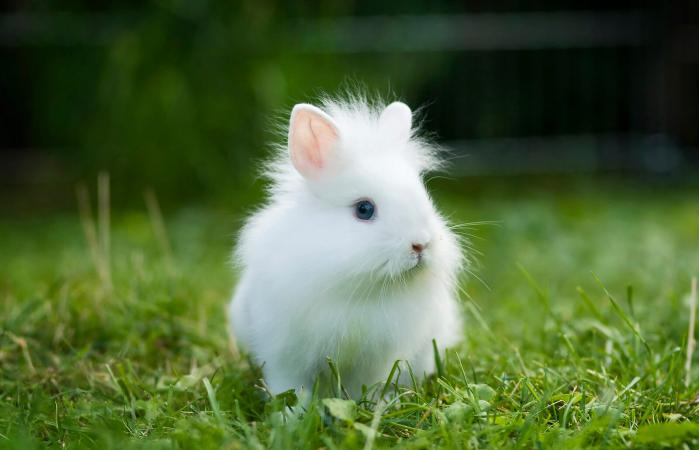 White Lionhead rabbit in a meadow