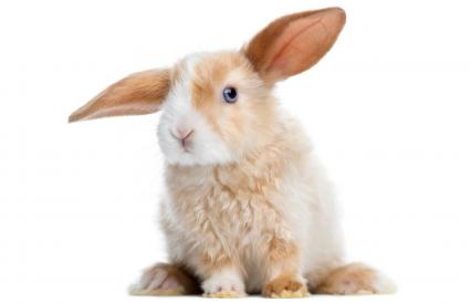 Satin Mini Lop rabbit ear up