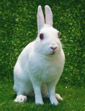 britannia petite rabbit