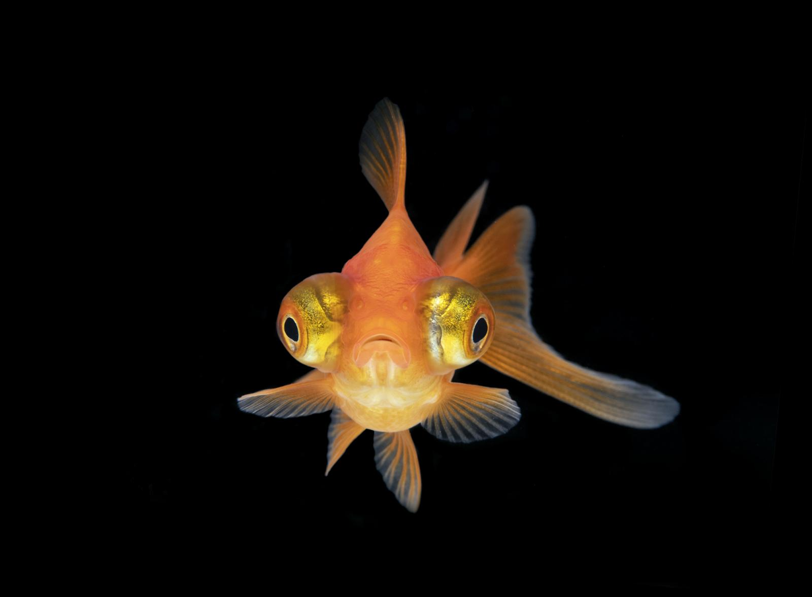 Telescope eye goldfish from the front