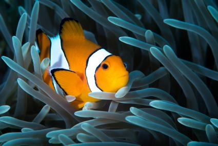 Ocellaris clownfish in tentacles of anemone