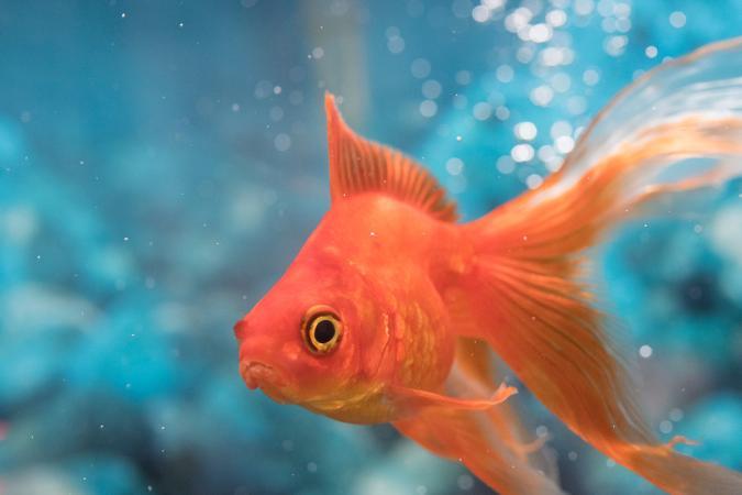 Red Orange Goldfish Swimming