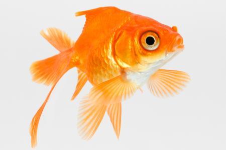 close up of orange goldfish