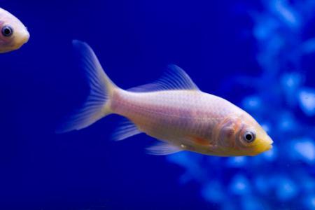 White goldfish swimming