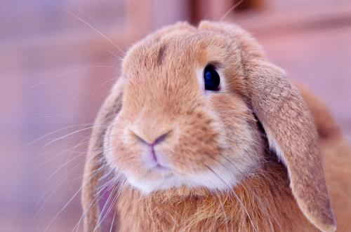 Close up of a rabbit