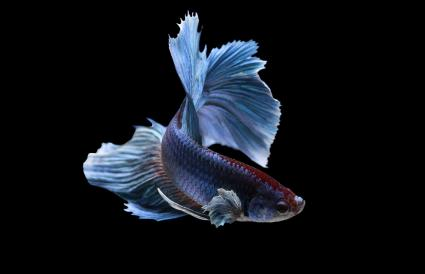 Portrait of a betta fish