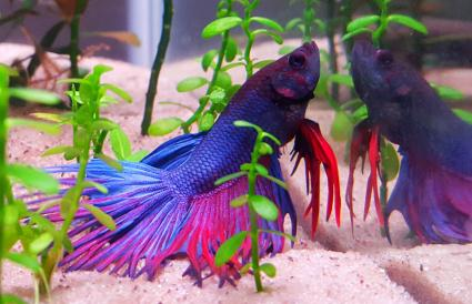 Siamese Fighting Fish In Tank At Aquarium