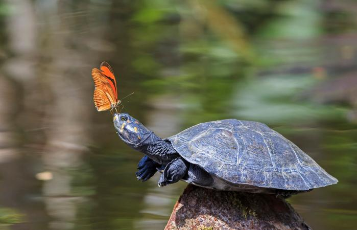 Butterfly on nose of river turtle