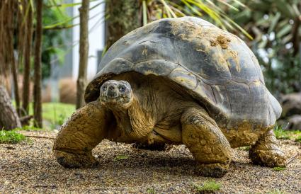 Galapagos tortoise with stump legs and heavy domed shell