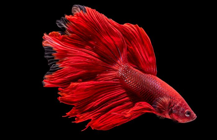 Portrait of a Red Betta Fish