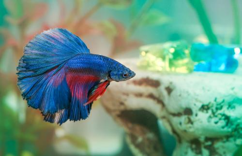 Blue betta fish Aquarian