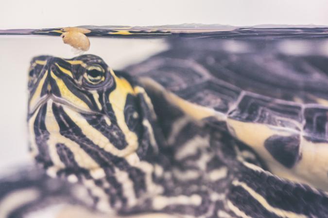 European pond turtle eating a shrimp