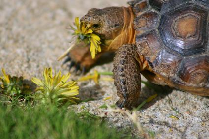 Baby tortoise dines on fresh dandelions