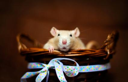 rat sitting in a basket