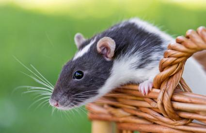 Rat on a basket