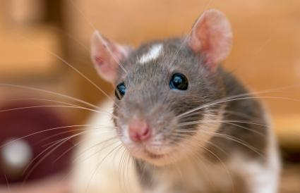 gray and white rat