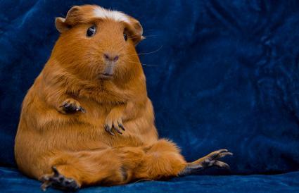 Funny guinea pig