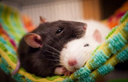 Sleeping rats