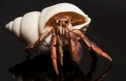 Hermit Crab Macro