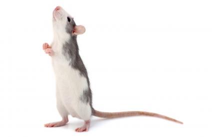 Cute little decorative rat