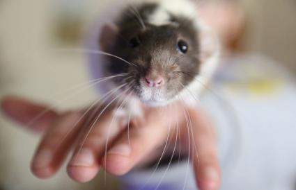 Rat on hand