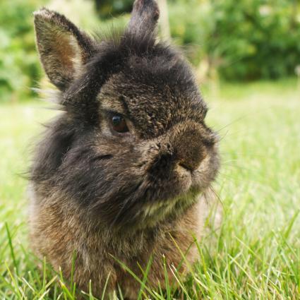 Lionhead Rabbit On Grass