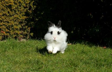 lionhead white rabbit hopping