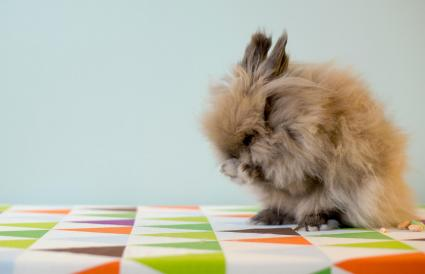 Lionhead rabbit cleaning himself