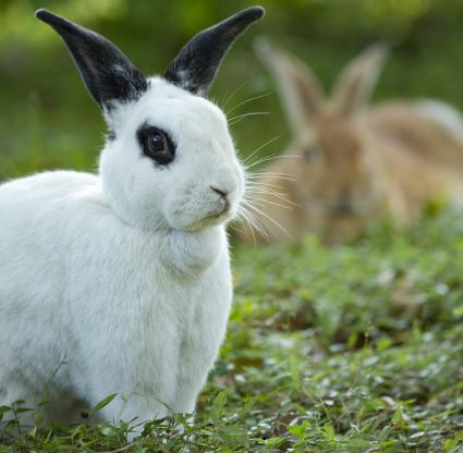 Black and White Rex Rabbit in grass with doe in background