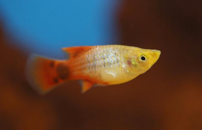 Silver and orange colored Molly