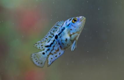 Blue and black cichlid swimming