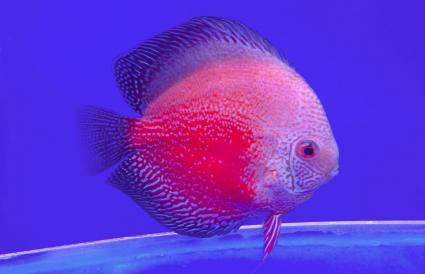 Discus Fish In Aquarium