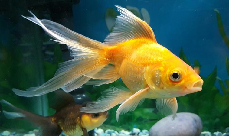 Close-Up Of Goldfish Swimming In Aquarium
