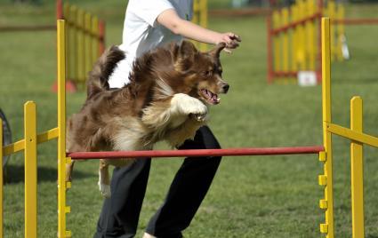 Australian Sheepdog on agility course, jumping hurdle