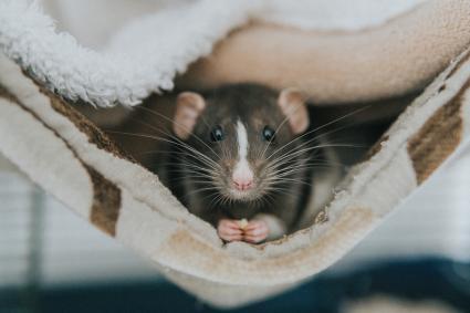 Pet rat in a blanket