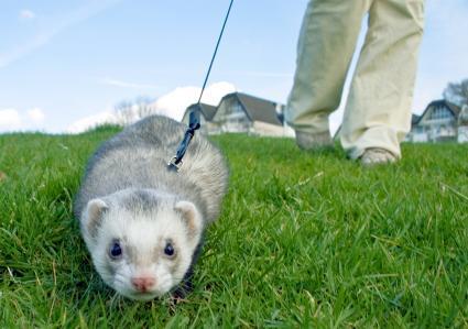 Ferret on leash in grass