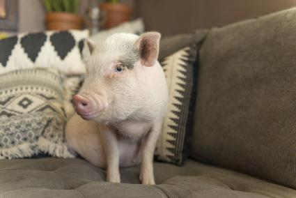 Pet pig on couch