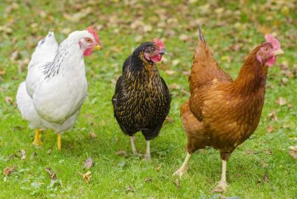 Three chickens running in the grass