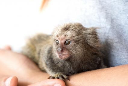 Holding a marmoset monkey