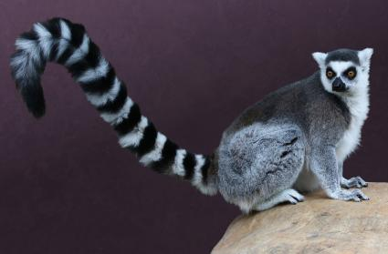 Ring tailed lemur showing his tail